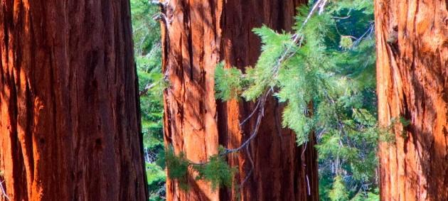 3 Sequia Trees Representing The 3 Pillars of Success